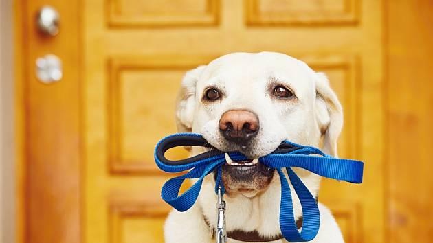 Každý pes by raději běhal na volno, bez vodítka. Ti dobře vycvičení vědí, že to nejde.