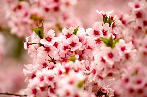 květy třešně