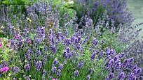 Levandule, okrasná, léčivá, voňavá a uklidňujícíc vytrvalá bylinka