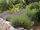 Levandule lékařská, Lavandula angustifolia