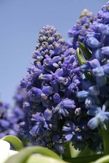 Modřenec (Muscari armeniacum 'Blue Spike')