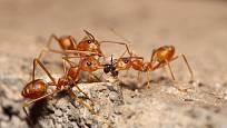 Zvolte na mravence vždy raději ekologicky šetrný způsob odstraňování.
