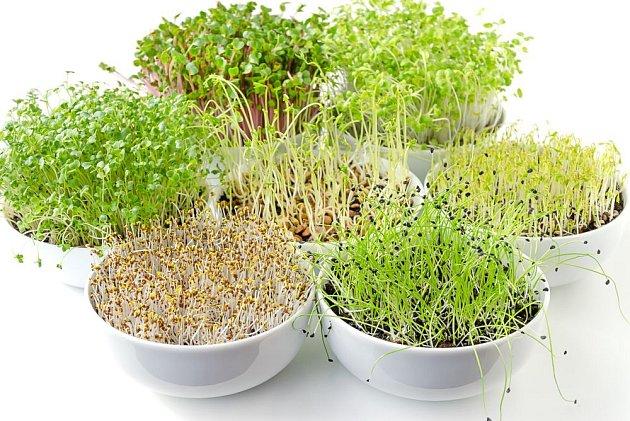 Zelené výhonky jsou plné prospěšných látek