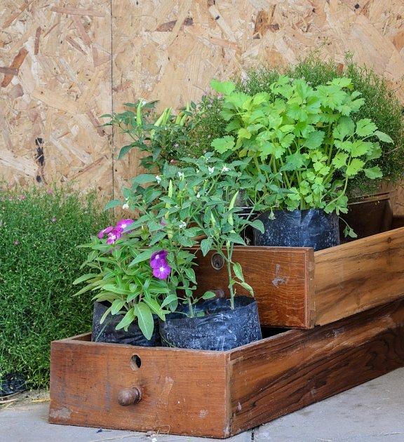 Zkuste pěstovat letničky netradičně - udělejte jim místo ve starých šuplících.