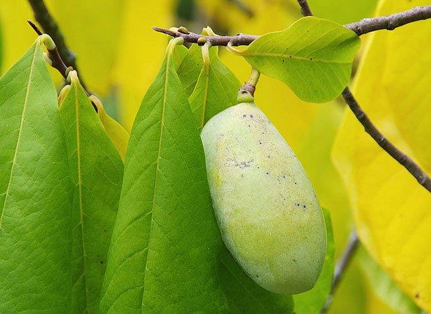 plod muďoulu někdy nazývaného jako pawpaw