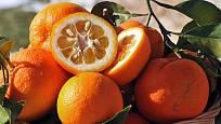 Pomerančovník hořký (Citrus aurantium), kříženec mandarinky a pomela.