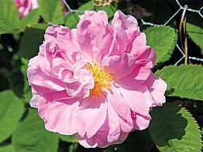 růže kazanlycká (Rosa x damascena trigintipetala)