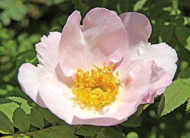 Růže Roxburghova