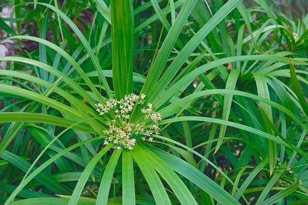 Šáchor střídavolistý (Cyperus alternifolius), listy a květy