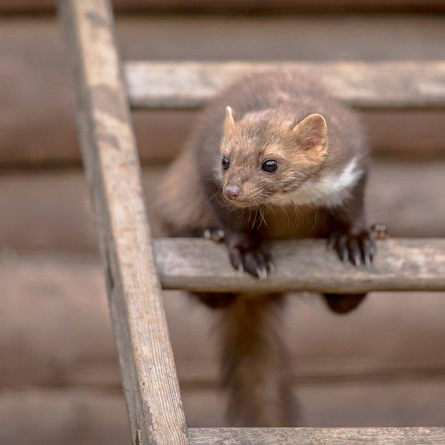 Kuny mají z lidí hrůzu, pouze kuna lesní (domácí) se lidským obydlím nevyhýbá