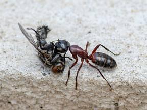 Mravenci jsou jedním z nejdokonalejších společenství živočišné říše