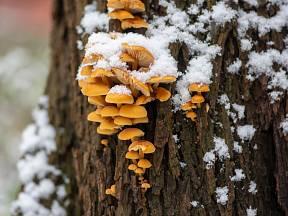 Penízovkám mráz nevadí. Ale co jiné houby?