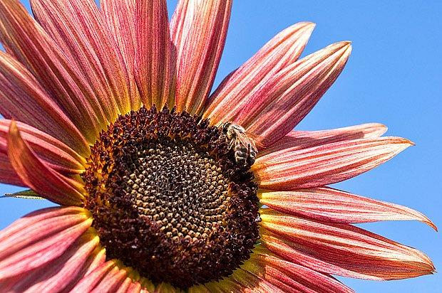 Slunečnice můžete pěstovat v řadě okrasných kultivarů. Nektar dávají všechny