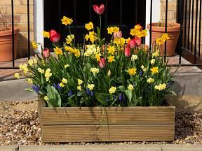 Dřevěný truhlík osázený tulipány, narcisy a modřenci.