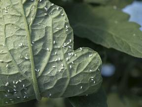 Dospělé molice na listu rajčete