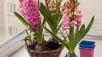 K oblíbeným jarním květinám patří rychlené hyacinty.