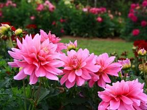 Jiřinky zdobí zahradu až do prvních mrazů, pak je třeba hlízy uschovat