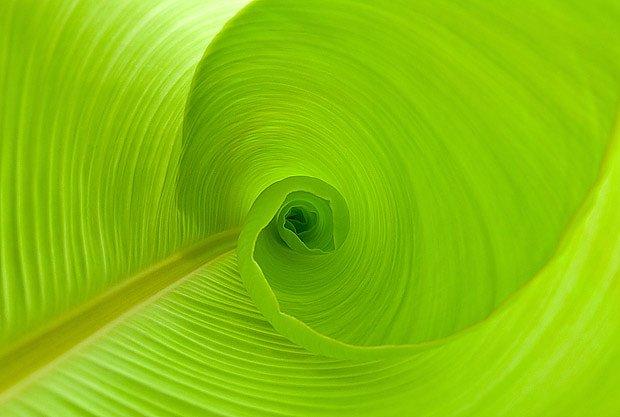 rozvíjející se list banánovníku