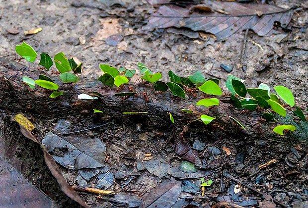 Pod pochodujícími kousky listů se skrývá mravenec