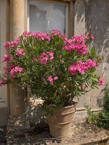 Aby oleandr bohatě kvetl, měli bychom jej nechat v zimě odpočinout v bezmrazém prostoru.