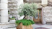 Staré olivovníky pěstované v nádobách vypadají velmi dekorativně.
