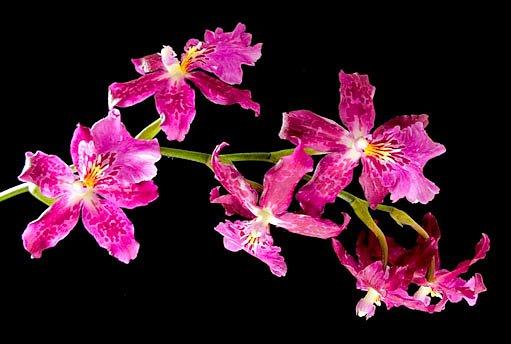 orchidej burrageara