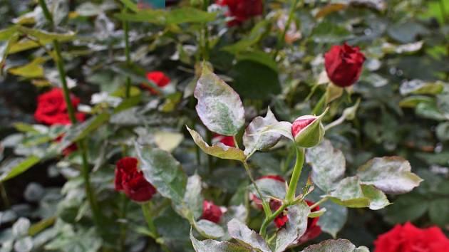 Padlí vytváří bělavý povlak na růžích.