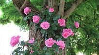 Kmen statného stromu jako přirozená opora pro popínavé růže