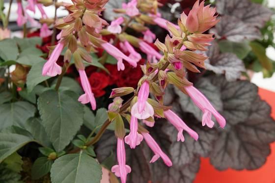 Šalvěj zářivá (Salvia), odrůda Salma Pink