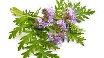 Svazenku poznáte nejen podle květů, ale i podle charakteristických listů.