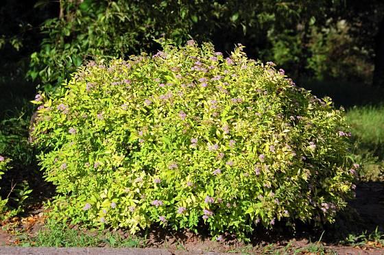 tavolník japonský (Spiraea japonica)