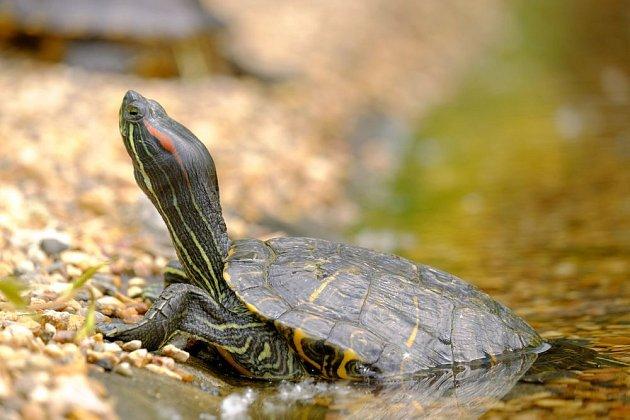 želva nádherná (Trachemys scripta elegans)