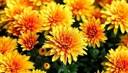žluté chryzantémy