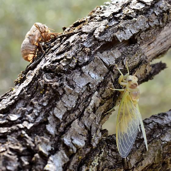 Mladá cikáda obecná (Lyristes plebejus) a její svlečka.