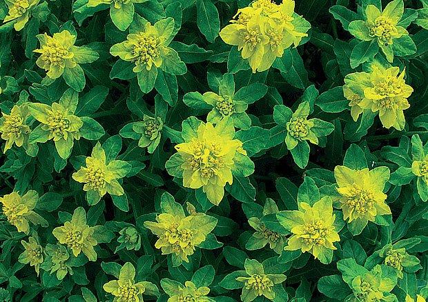 pryšec mnohobarvný (Euphorbia polychroma)