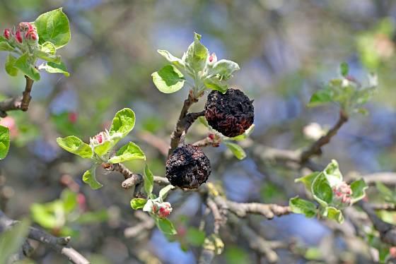 Mumifikované plody bychom měli z koruny odstranit před naléváním pupenů.