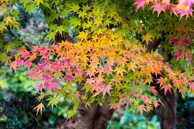 Podzimně zbarevné listí okrasných dřevin je okouzlující