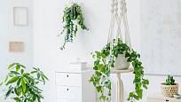 Závěsné rostliny vytvoří v interiéru zajímavý efekt.