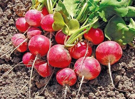 ředkvičky - první jarní zelenina