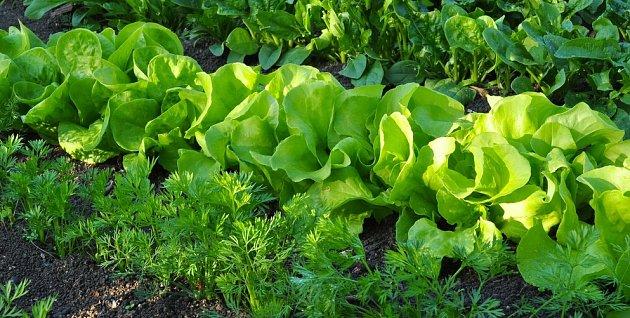 Vyplatí se v řádcích střídat rychle a pomalu rostoucí druhy, například salát a mrkev