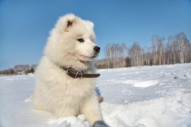 Severská plemena jsou ve sněhu šťastná