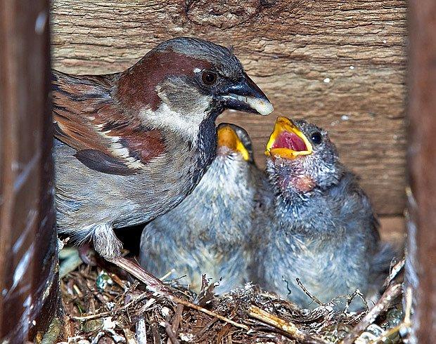 Vrabec domácí krmí mláďata v budce