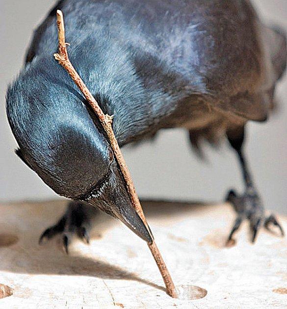 vrány dokáží využívat nástrojů