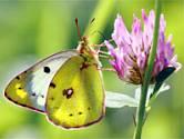 Žluťásek čilimníkový – (Colias crocea)