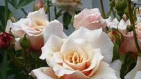 Růže odrůdy Caramella