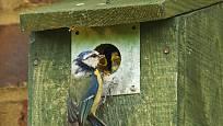 Oplechovaný otvor pomáhá chránit hnízdící sýkorky před predátory.