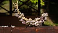 Kvalitní a dobře usušený česnek vydrží až do další sezóny čerstvý.