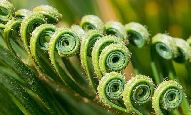 rozvíjející se listy cykasu