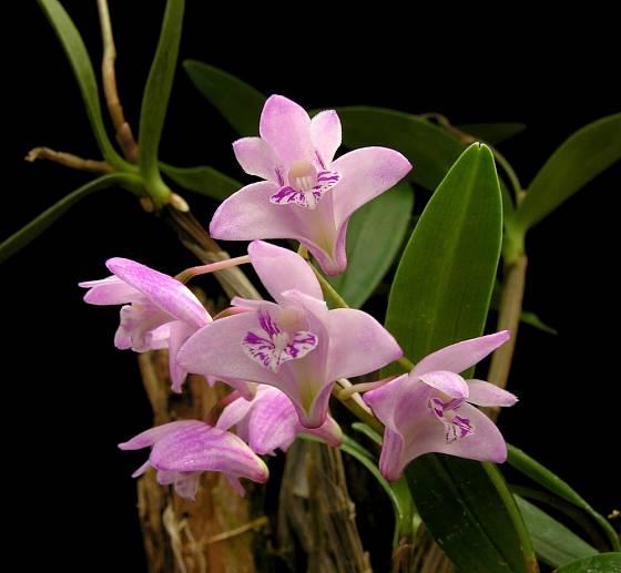 Orchidej Dendrobium kingianum.