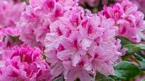 Zahradní rododendrony kvetou v pestré paletě barev